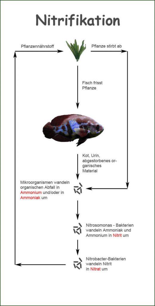 Schema der Nitrifikation im Aquarium