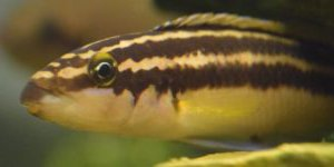 julidochromis ornatus