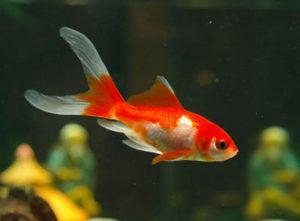 Im Goldfischaquarium hilft die Auslaufsicherung