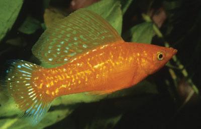 Der Segelkärpfling ist ein Fisch, dem ein Außenfilter gut tut